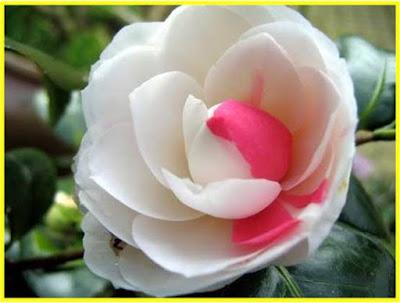 Hermosa imagen de rosa flor blanca y rosada
