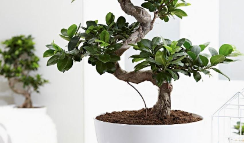 Compramos um bonsai e agora?