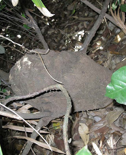 The oval, semi rounded nest of Bulbitermes termite