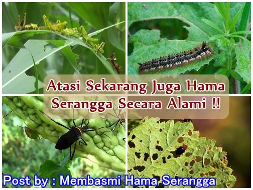 Membasmi Hama Serangga