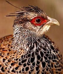 Image of the Phasianidae bird (Catreus wallichi)