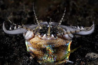 Sâu Bobbit hung thần đáy biển, nguồn gốc cái tên còn đáng sợ hơn nhiều