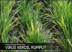 Tips memutus siklus penyebaran virus kerdil rumput pada tanaman padi