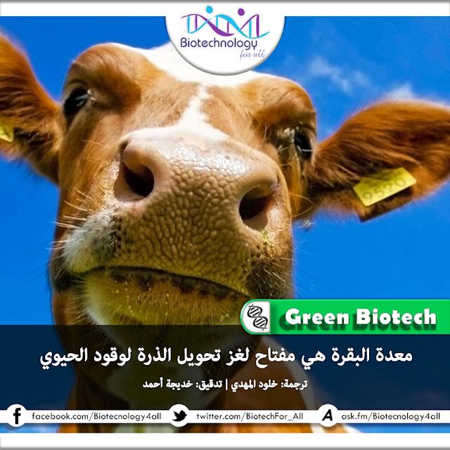 دراسة تؤكد أن معدة البقر هي مفتاح لغز تحويل الذرة لوقود حيوي