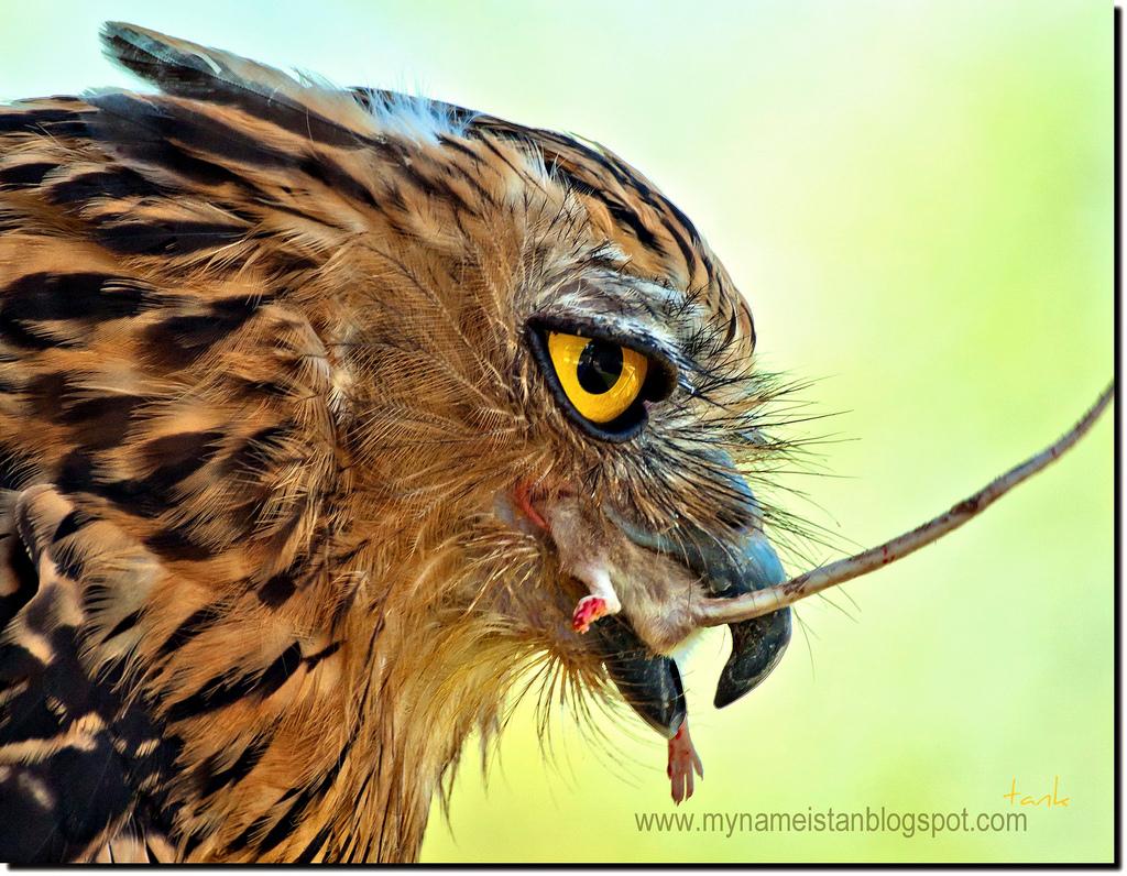 Birds of Malaysia @ mynameistank64: Owl Owl Owl...