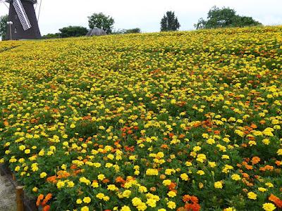 花博記念公園鶴見緑地 風車の丘 マリーゴルド