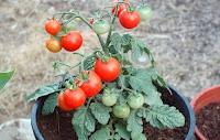 http://steviaven.blogspot.com/2017/05/verduras-faciles-de-plantar-en-su-hogar.html