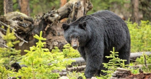 16 year old teenager mauled to death by a Bear