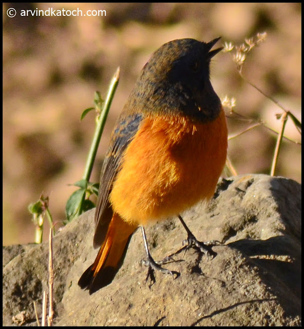 Blue-fronted Redstart,