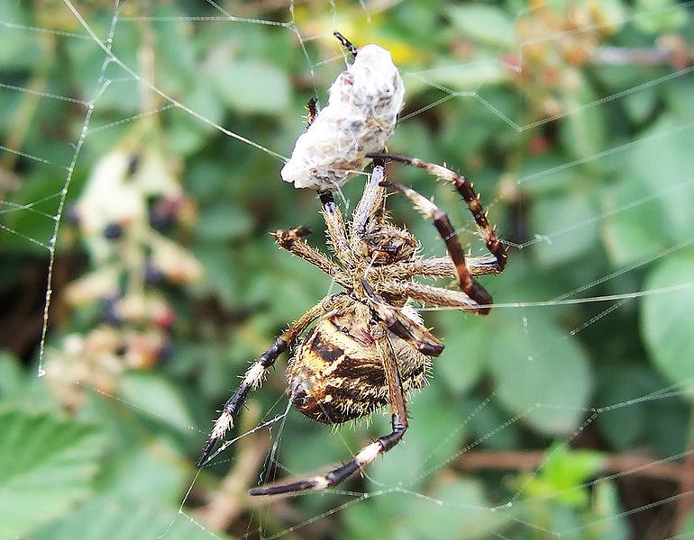 Arachnids: Garden orb weaver