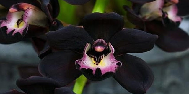 Pupua Black Orchid very exotic that will make you feel amazed