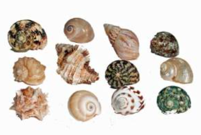 This set of shells by Florida Marine Research are a great array. Click the picture to purchase your set.