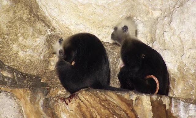 Logo após o nascimento, a parteira segurou o bebê e lambeu. Por fim, a mãe do bebê estendeu a mão para levá-la, e a fêmea mais velha entregou a criança sem resistência. A macaca parteira então se sentou ao lado da mãe e da criança por um tempo.