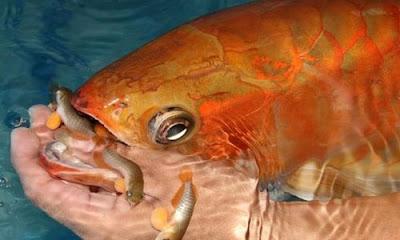 Pembenihan Ikan Arwana