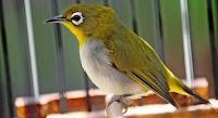 Burung Pleci Daput Sudah Buka Paruh