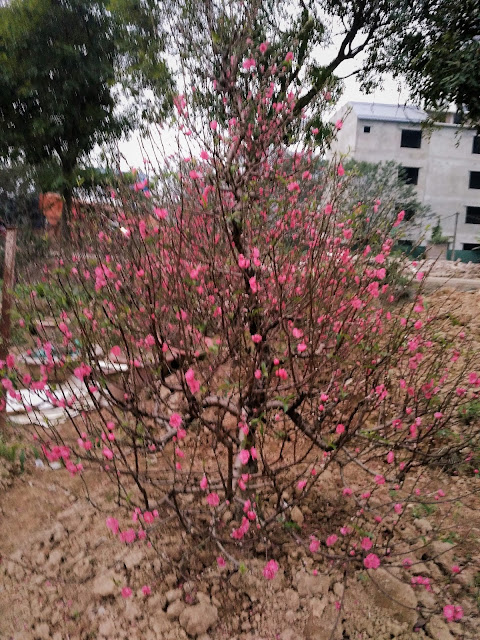 Bán Cho Thuê Đào Tết 2018 Thế Đào Thông
