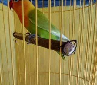 Cara Membuat Tangkringan Burung
