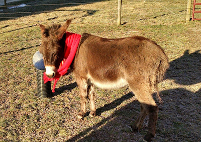 mini-donkey-in-red-scarf