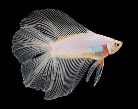 Ikan Cupang Double Tail / Cagak