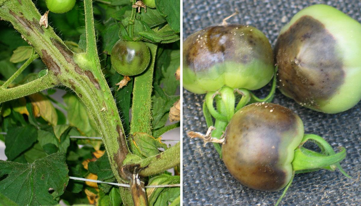 domates de bakteriyel gövde ve meyve çürüklüğü ile ilgili görsel sonucu