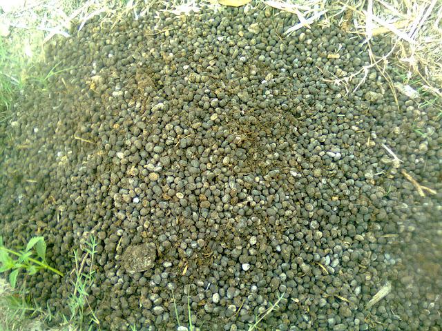 Pupuk Organik Dari Kotoran Kambing Baik Untuk Tanaman Cabe