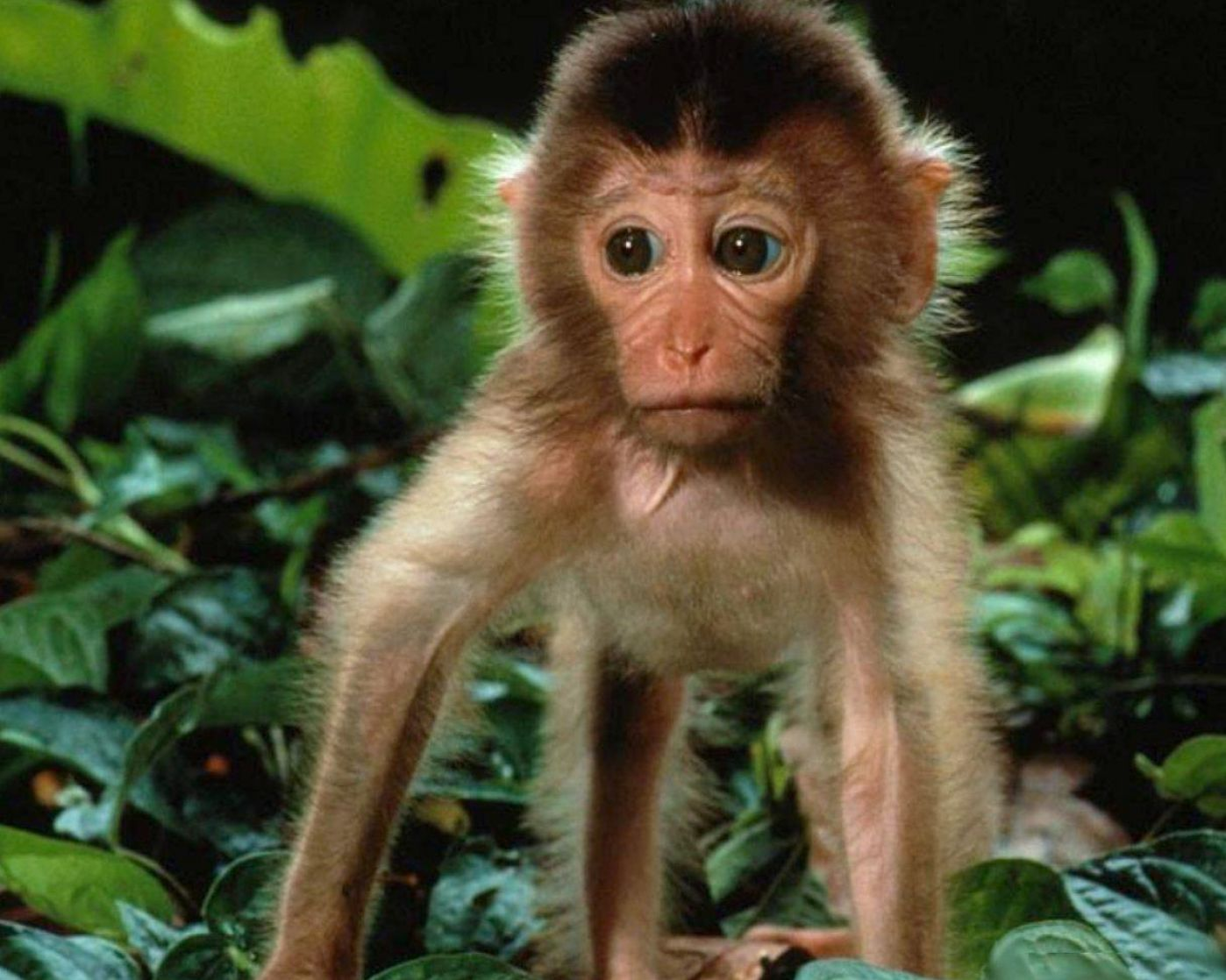 Monkeys usually alternate between upright movement and walking on all ...