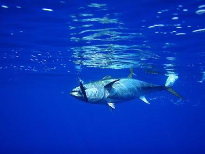 El rey del mar y la mesa el atun rojo