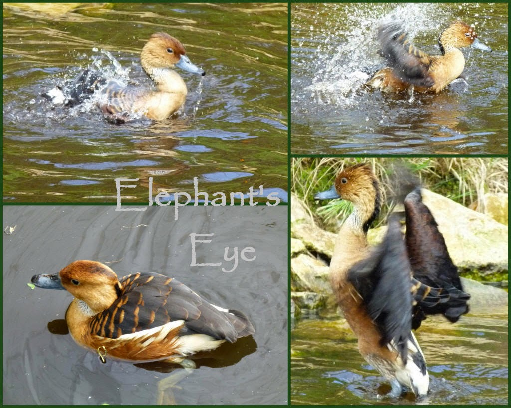 Fulvous whistling duck (Madagascar, C and E Africa, India to Burma, South America)