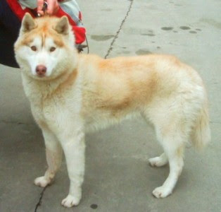 Light Red Siberian Husky