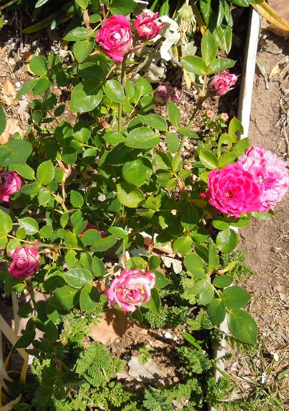 Windy City Miniature Rose