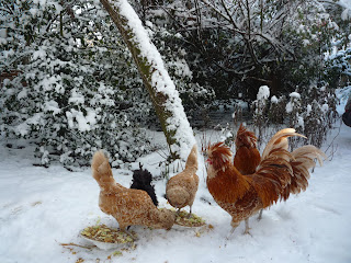 Chamois white-laced Polish hens cockerels and friend