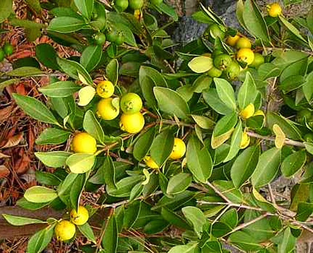 animales y plantas de per250 guayaba psidium guajava