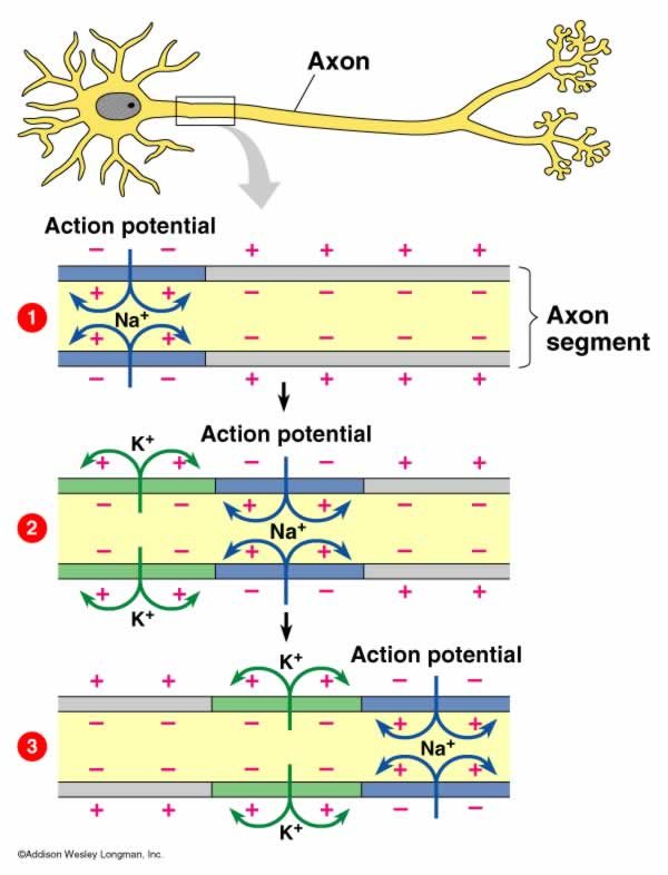Action Potentials Up Close on All About Your Amazing Brain