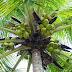 Melihat pohon kelapa dari sisi bisnis Pengusaha Yohanes Chandra Ekajaya