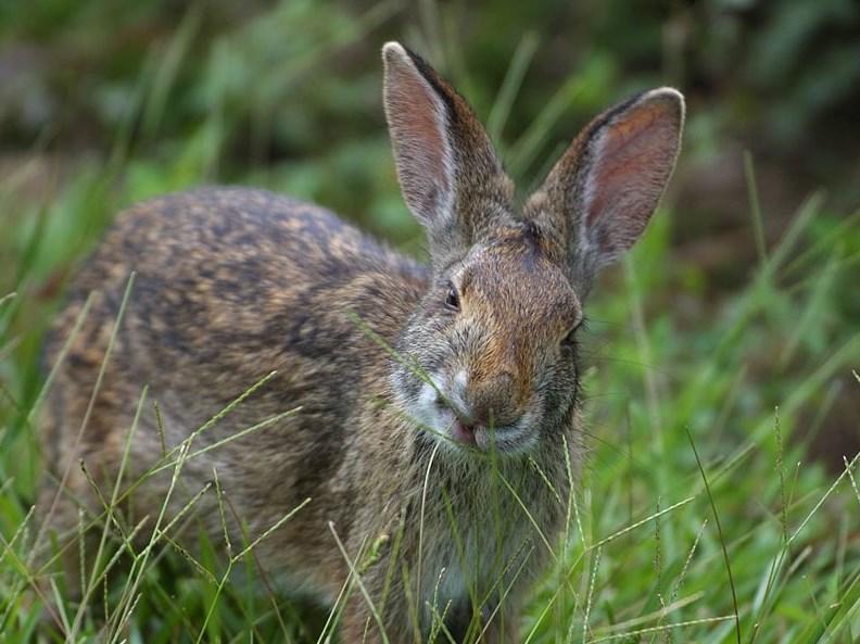 Penyakit Scabies pada kelinci memelihara kelinci hias