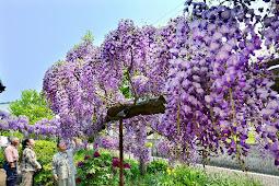 紫の花が綺麗な藤の花 中野渡勉さん庭園