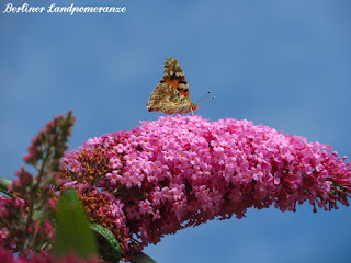 Schmetterling auf Buddleja
