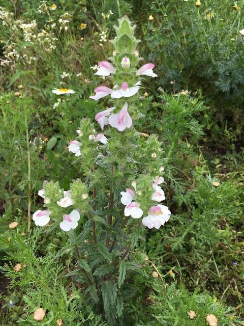 Flor-de-ouro - Mediterranean Lineseed (Bellardia trixago)