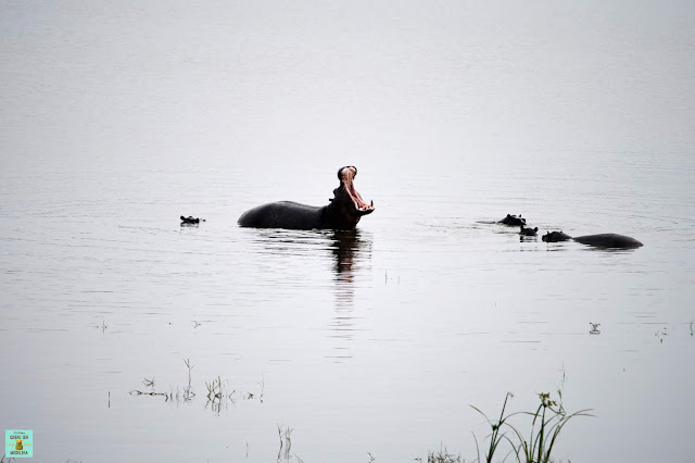 Hipopótamos en la Reserva de Moremi de Botswana