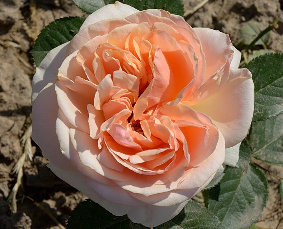 Genevieve Orsi сорт розы фото купить саженцы Минск отзывы