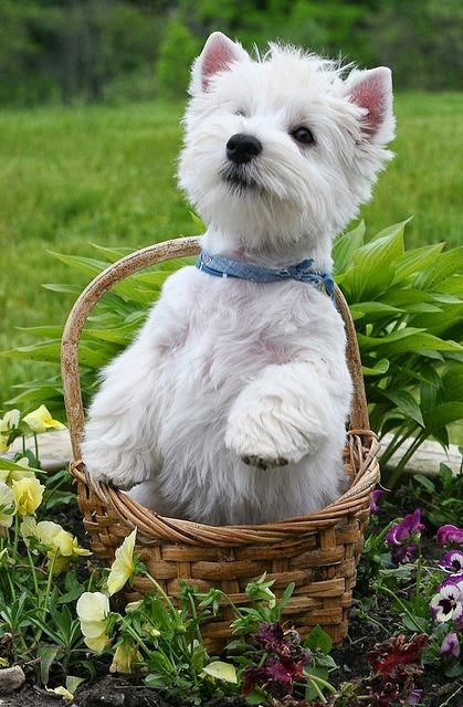 This looks like my dog, Bonnie. But she would NEVER sit in a basket - because she's really a human in a small furry body