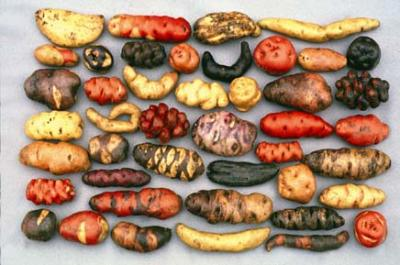 Foto de papas de diferentes colores y tamaños