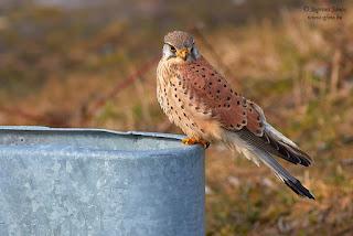Vörös vércse - Common Kestrel - Turmfalke- Falco tinnunculus