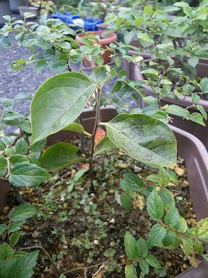 柿 苗 種