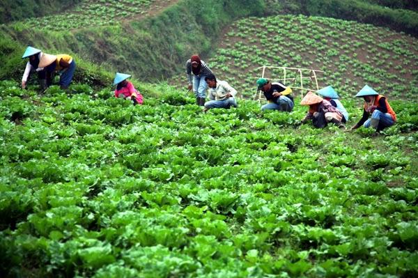 Keindahan Alam Perkebunan Sayur di Pangalengan