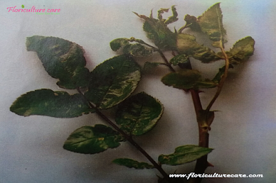 Rose pest control- Leaf Hopper Damage