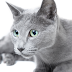 Everything about your Russian Blue Cat