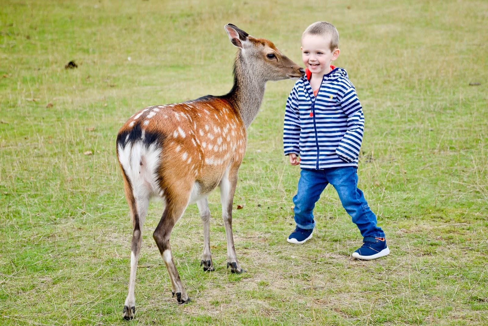 knole park deer, knole park