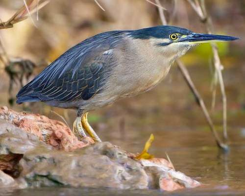 Indian birds - Striated heron - Butorides striata