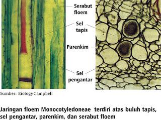 susunan jaringan floem
